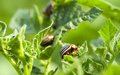 Colorado Potato Beetle In The Field Stock Images - 70587844