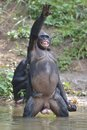 Bonobo Standing On Her Legs In Water With A Cub On A Back Standing  And Hand Up. The Bonobo ( Pan Paniscus). Stock Photo - 70589980