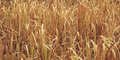 Dry Grass Royalty Free Stock Images - 70592429