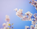 Card With Beautiful Blooming White Sakura Flowers Tree Branch On Blue Sky Background Royalty Free Stock Images - 70635269