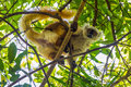 Lemur On Lokobe Strict Reserve In Nosy Be, Madagascar Stock Photography - 70641952
