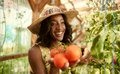 Friendly Woman Harvesting Fresh Tomatoes From The Greenhouse Garden Putting Ripe Local Produce In A Basket Stock Images - 70661144