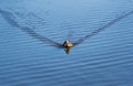 The Duck Floats On Water Ripples. Royalty Free Stock Photos - 70698408