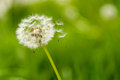 Dandelion Spores Blowing Away Royalty Free Stock Image - 70702076