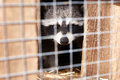Raccoon In Cage Stock Images - 70707774