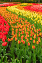 Rows Of Tulip Flowers Stock Photography - 70708532