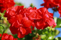 Red Geraniums Flowers Royalty Free Stock Images - 70740879
