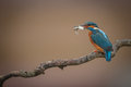 Kingfisher With Catch On Twirly Branch Royalty Free Stock Images - 70748179