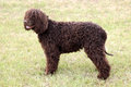 Typical Irish Water Spaniel On A Green Grass Lawn Royalty Free Stock Images - 70750649