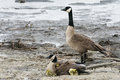Canada Goose Family Royalty Free Stock Images - 70794679