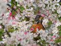American Robin Stock Photography - 70847182