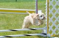 American Cocker Spaniel At A Dog Agility Trial Royalty Free Stock Image - 70854226