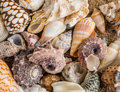 Seashell Background, Lots Of Different Seashells Piled Together. Stock Image - 70902561
