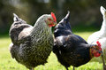 Pet Chickens Stock Image - 70918281