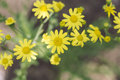 Yellow Wildflowers Royalty Free Stock Images - 70931019
