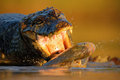 Crocodile Yacare Caiman, With Fish In With Evening Sun, Animal In The Nature Habitat, Action Feeding Scene, Pantanal, Brazil Stock Images - 70943494