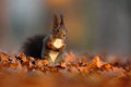 Cute Red Squirrel With Long Pointed Ears Eats A Nut In Autumn Orange Scene With Nice Deciduous Forest In The Background, Hidden In Stock Photo - 70944200