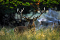 Deer, Bellow Majestic Powerful Adult Red Deer Stag Outside Autumn Forest, Animal Lying In The Grass, Nature Habitat, France Stock Images - 70944664