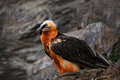 Bearded Vulture, Gypaetus Barbatus, Detail Portrait Of Rare Mountain Bird, Sitting On The Rock, Animal In Stone Habitat, Morocco Royalty Free Stock Image - 70944846