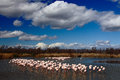 Flock Of  Greater Flamingo, Phoenicopterus Ruber, Nice Pink Big Bird, Dancing In The Water, Animal In The Nature Habitat, With Blu Stock Photography - 70951672