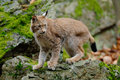 Lynx, Eurasian Wild Cat Walking On Green Moss Stone With Green Rock In Background, Animal In The Nature Habitat, Germany Stock Photos - 70952713