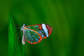 Nero Glasswing, Greta Nero, Close-up Of Transparent Glass Wing Butterfly On Green Leaves, Scene From Tropical Forest, Costa Rica, Royalty Free Stock Images - 70953789