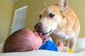 Dog Licking A Baby Royalty Free Stock Photo - 71017475