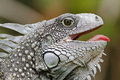 Green Iguana With Its Mouth Open Stock Image - 71041441