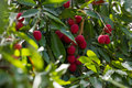 A Lychee Tree (Litchi Chinensis) Stock Photos - 71058323