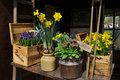 Yellow And Blue Spring Flowers In Pots Royalty Free Stock Photos - 71087028