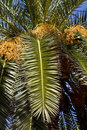 Date Palm Stock Photography - 7113462