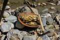 Gold Nugget Mining From The River Stock Photo - 71137590