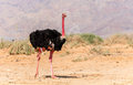 Male Of African Ostrich Royalty Free Stock Image - 71159426