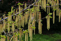 Branch Of Hazel Catkins In The Afternoon Sun Stock Photography - 71169332