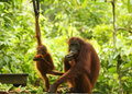 Mother Orangutan And Baby On Feeding Platform Sepilok, Borneo Royalty Free Stock Images - 71189039