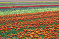 Rows Of Colorful Tulips In Flower Field In Holland Royalty Free Stock Image - 71222156