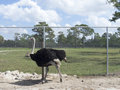 Ostrich Royalty Free Stock Photos - 71225318