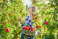 Young Woman Picking Ripe Organic Apples In Orchard Or On Farm On A Fall Day Stock Photography - 71289042