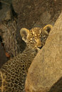 Shy Young Leopard Cub Stock Images - 7135584