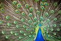 Male Peacock Showing Off Royalty Free Stock Images - 71303699