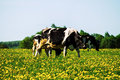Cow On Flower Meadow. Stock Photos - 71373653