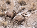 Bighorn Sheep Ram And Ewe Stock Photography - 71377942