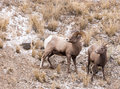 Bighorn Sheep Ram And Ewe Royalty Free Stock Photos - 71378058
