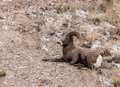 Bighorn Sheep Ram Stock Photos - 71381053