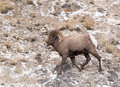 Bighorn Sheep Ram Royalty Free Stock Image - 71383026