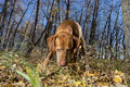 Hunting Dog With Nose On The Ground In Autumn Forest Royalty Free Stock Photography - 71389557