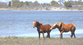 Horse Pair-Assateague Island National Seashore Stock Photos - 71431173