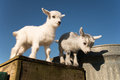 Two Baby Pygmy Goats Stock Images - 71452514