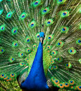 Peacock Stock Image - 7156401