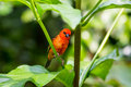 Red Cardinal Bird In A Swiss Zoo Stock Photography - 71529802